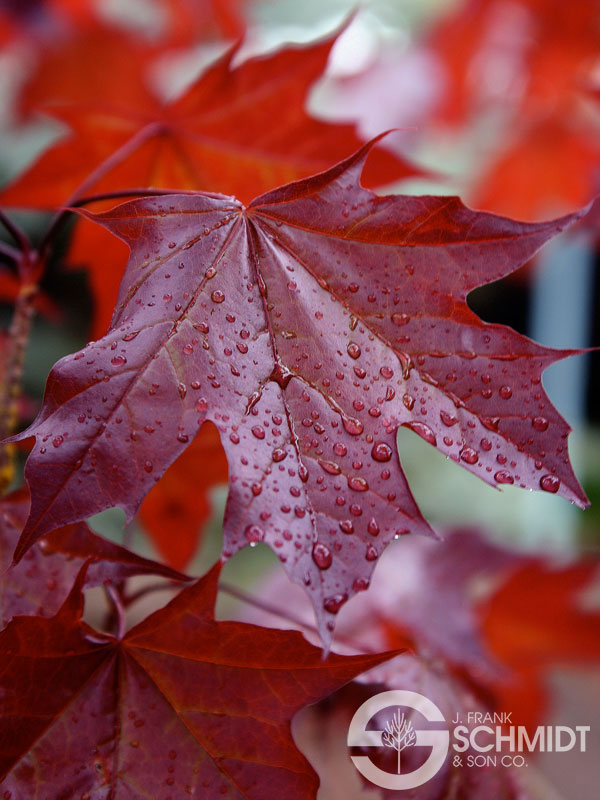 Image result for Crimson Sunset Maple
